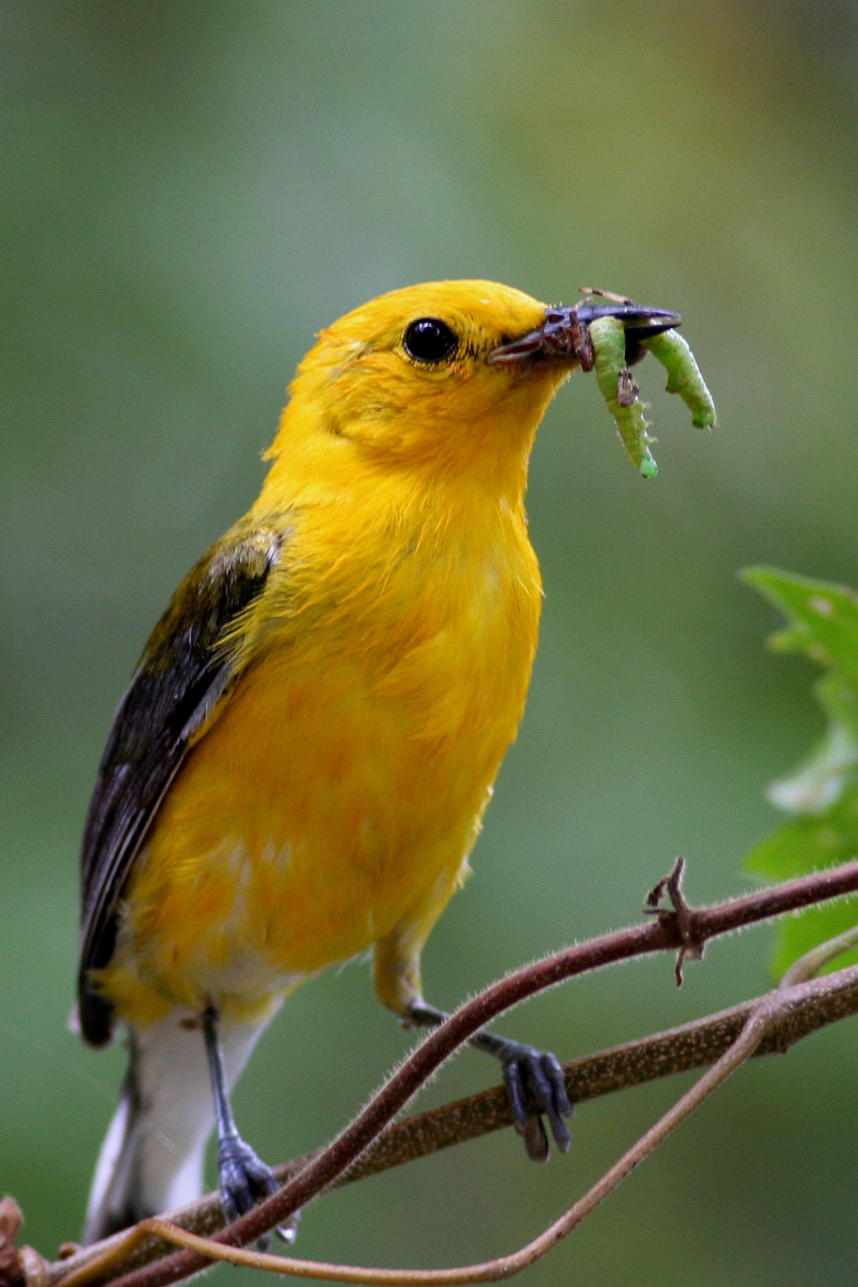 Bright yellow, alert-looking daddy bird with bright green caterpillar in beak.