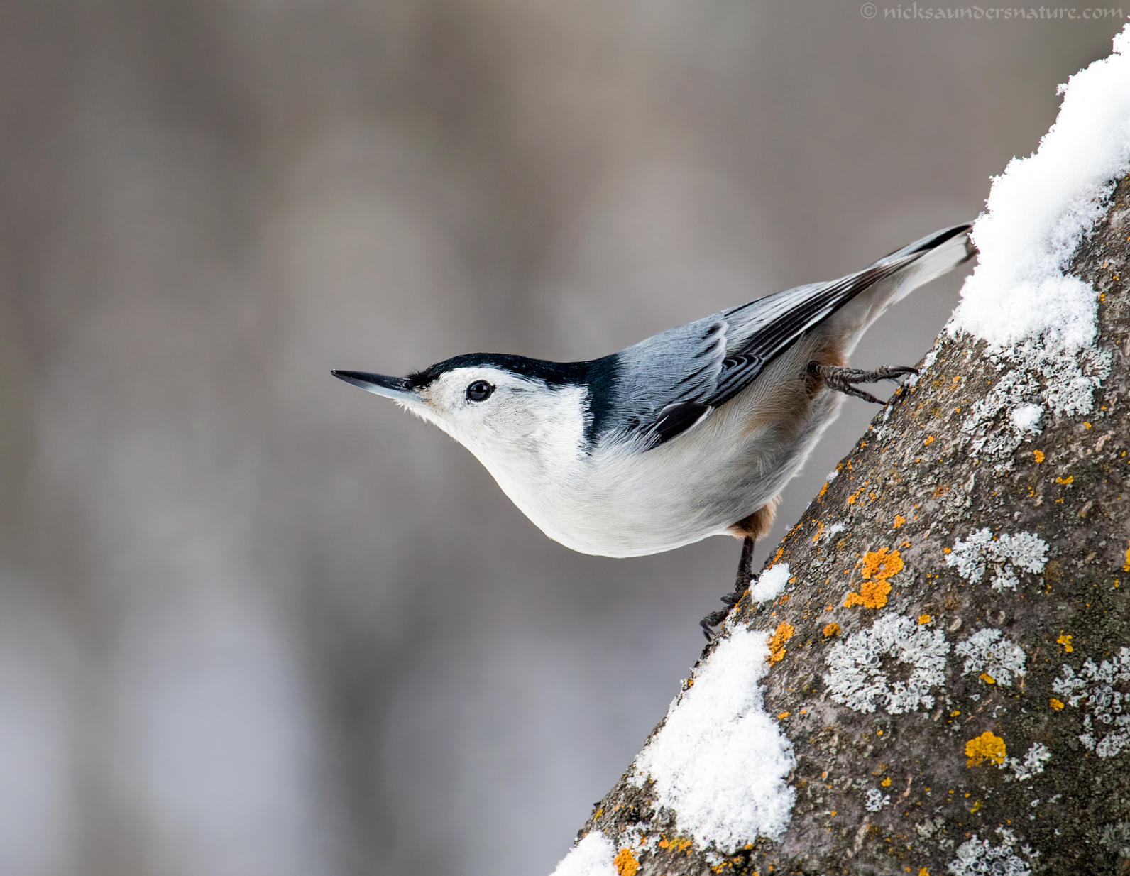 White-Breasted Nuthatch - Nick Saunders/GBBC
