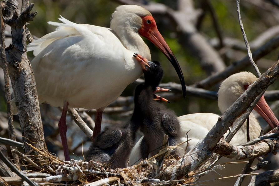 White Ibis and chick.
