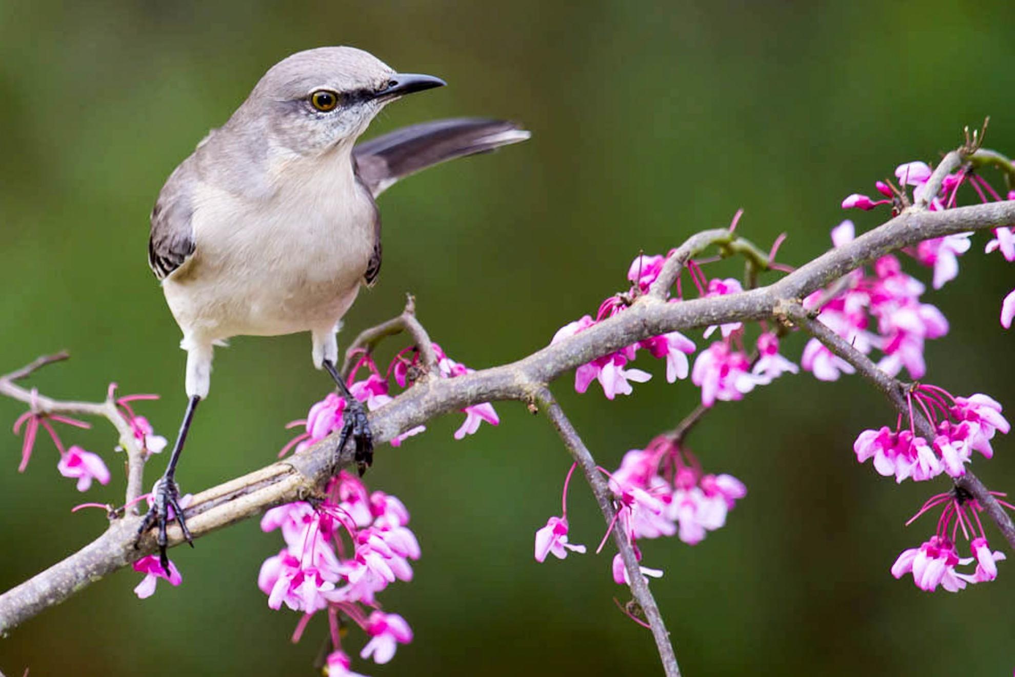 Northern Mockingbird on Eastern Redbud.