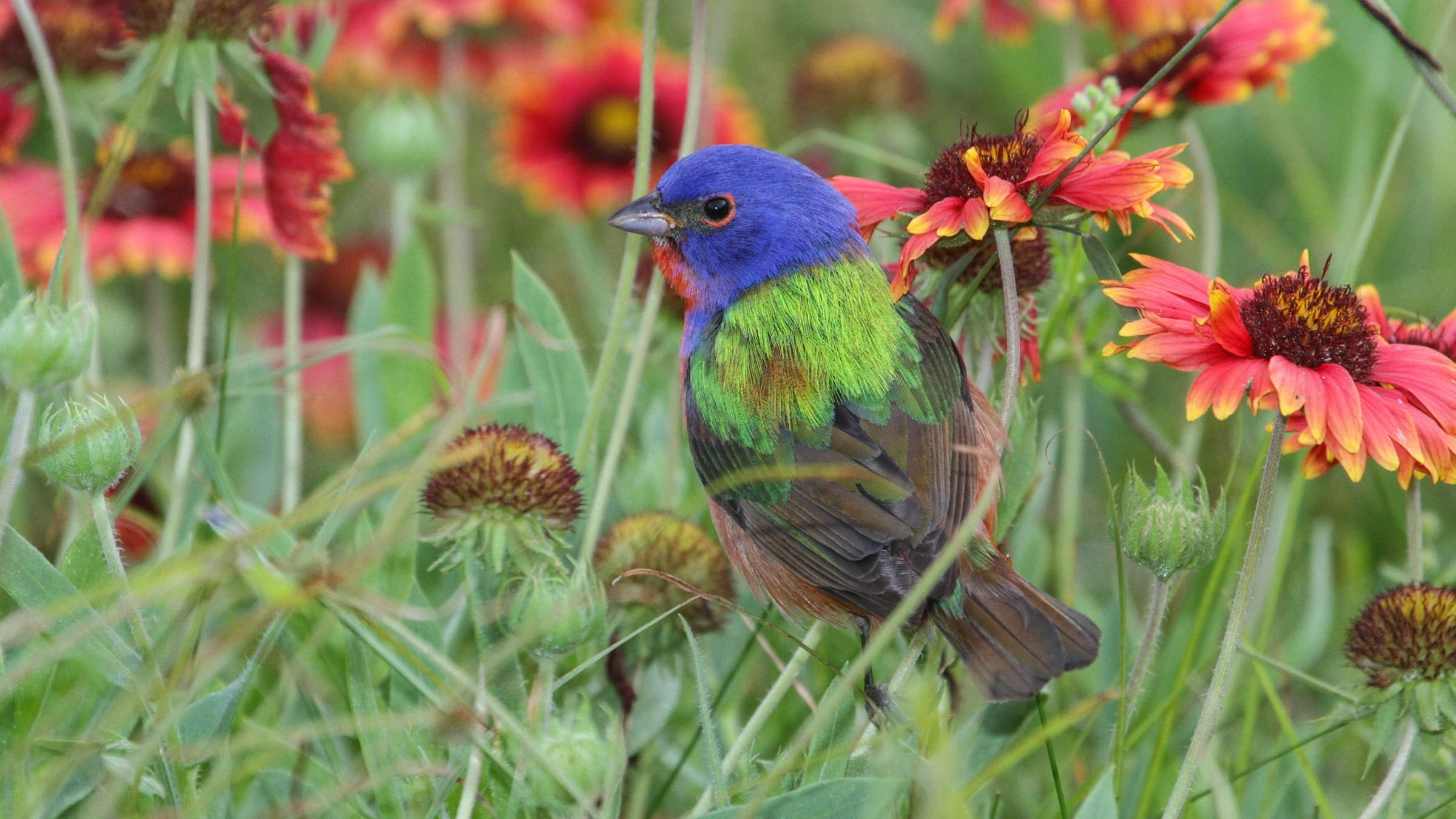 Painted Bunting.