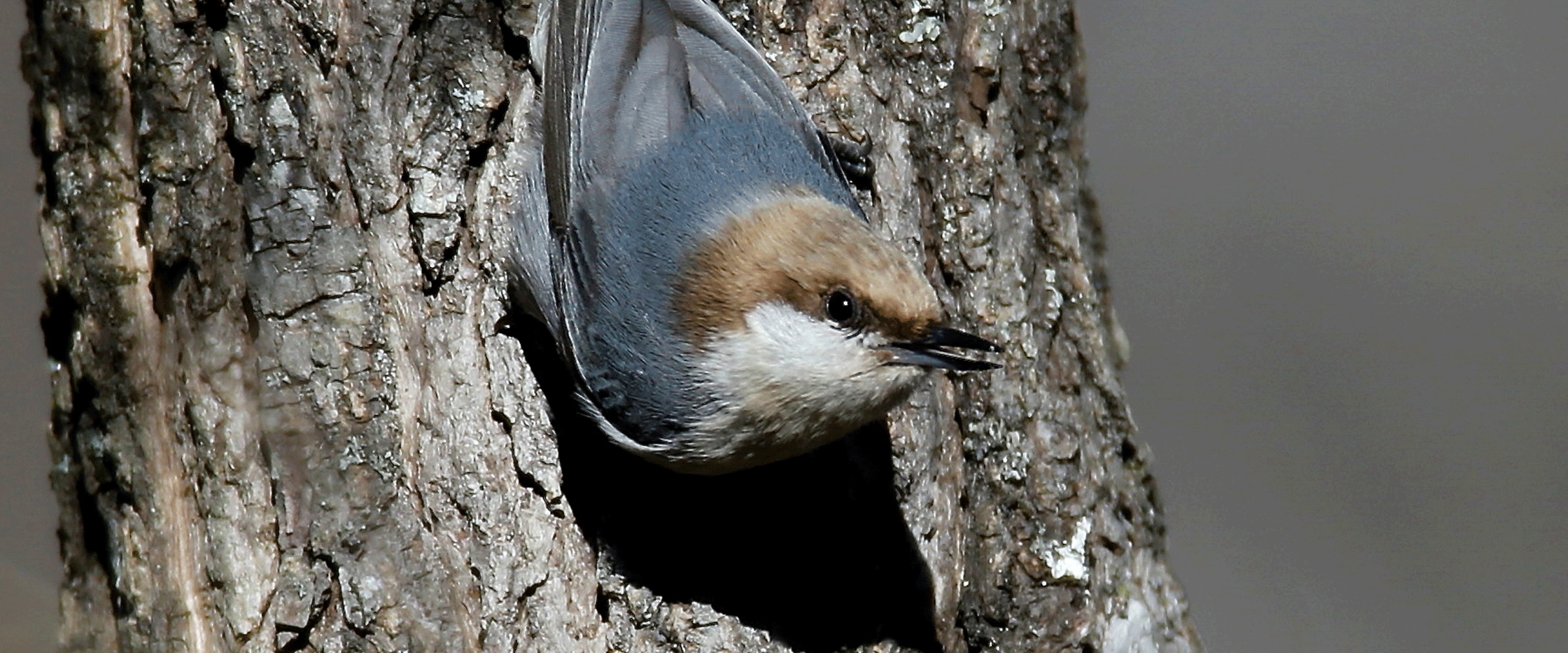 GBBC_14471_Brownheaded_Nuthatch_Connie_Pinson_Monroe_GA2014_Overall_KK