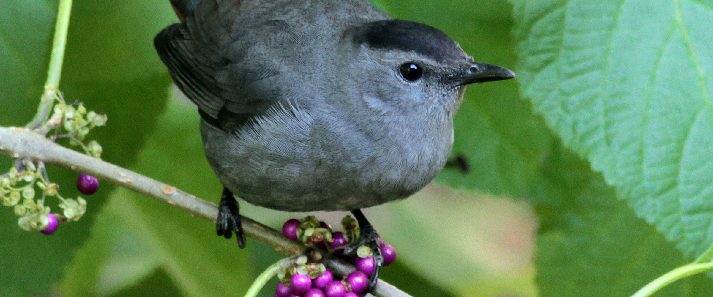 Gray Catbird Beautyberry by Will Stuart