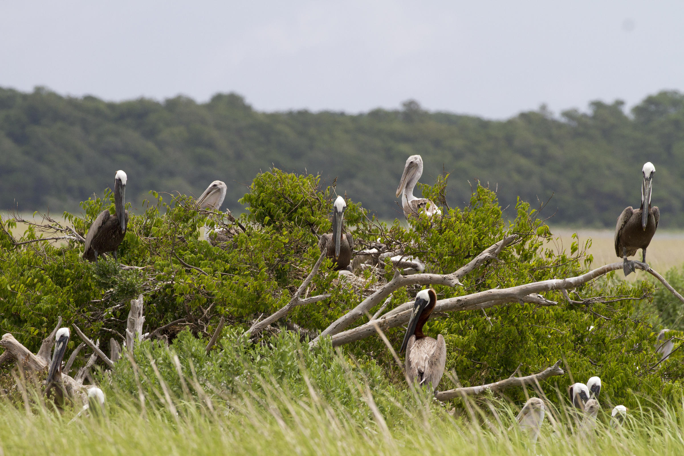 Brown Pelicans.