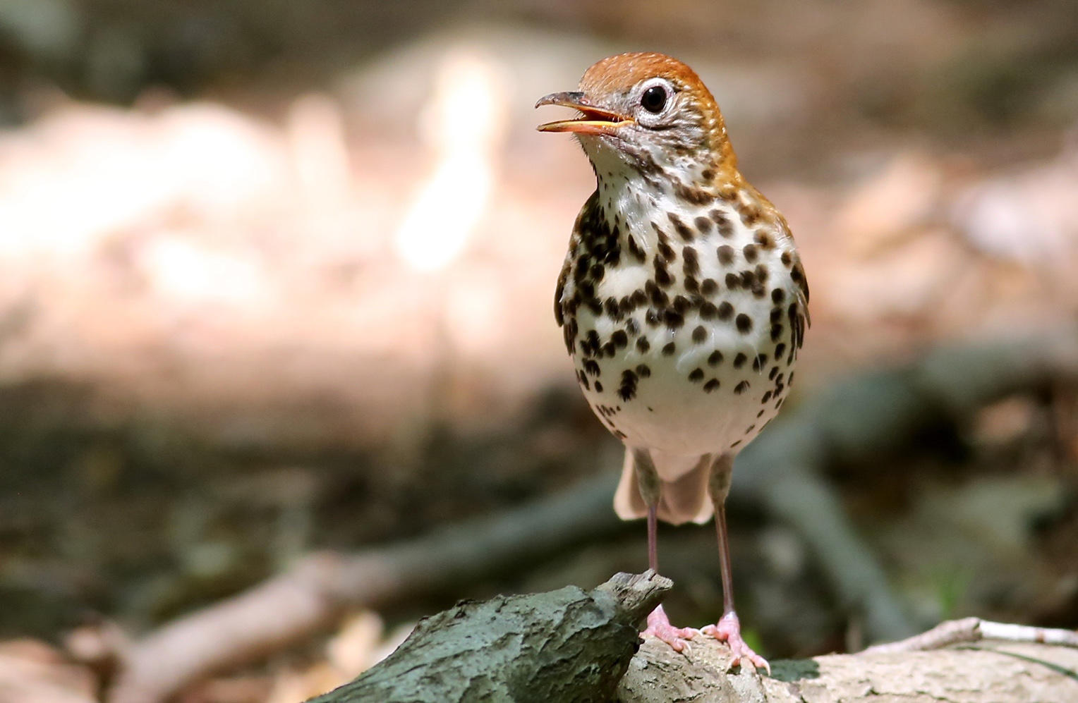 Audubon North Carolina