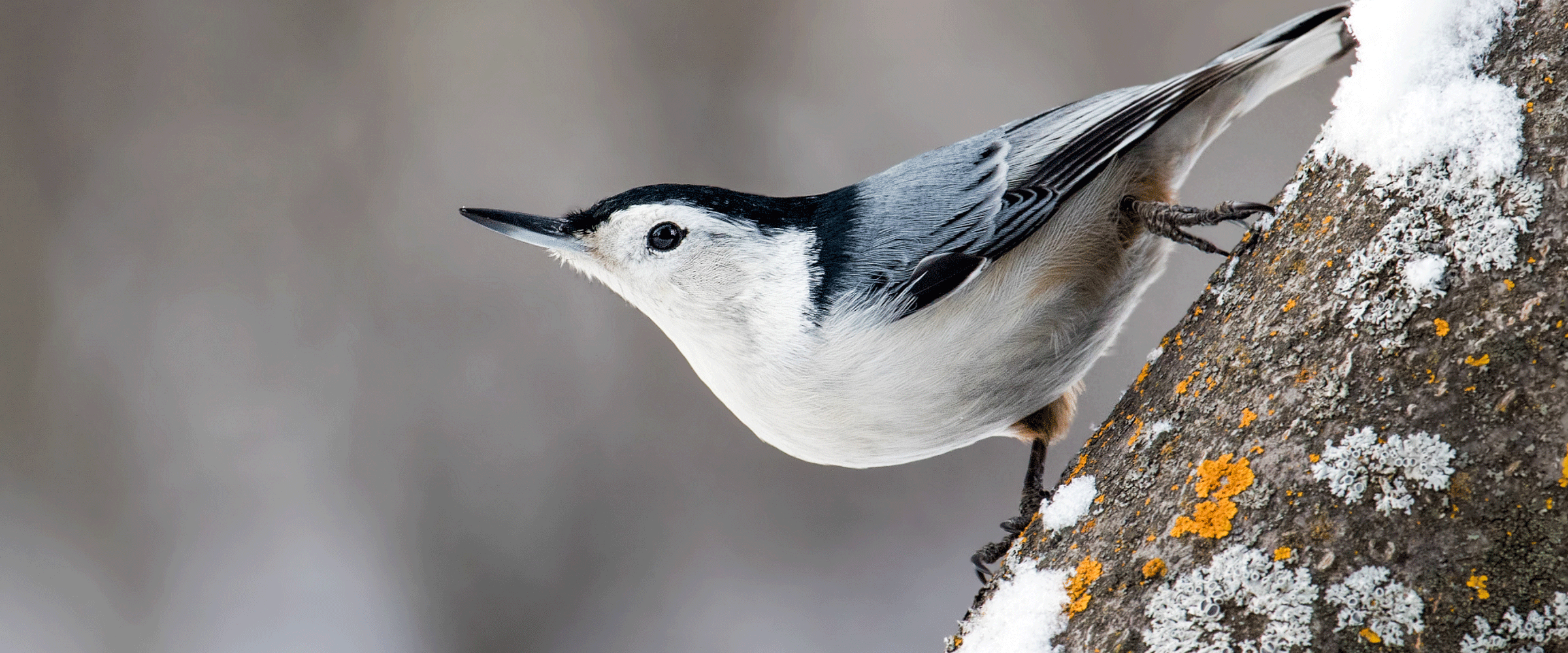 White-Breasted Nuthatch - Nick Saunders/Great Backyard Bird Count