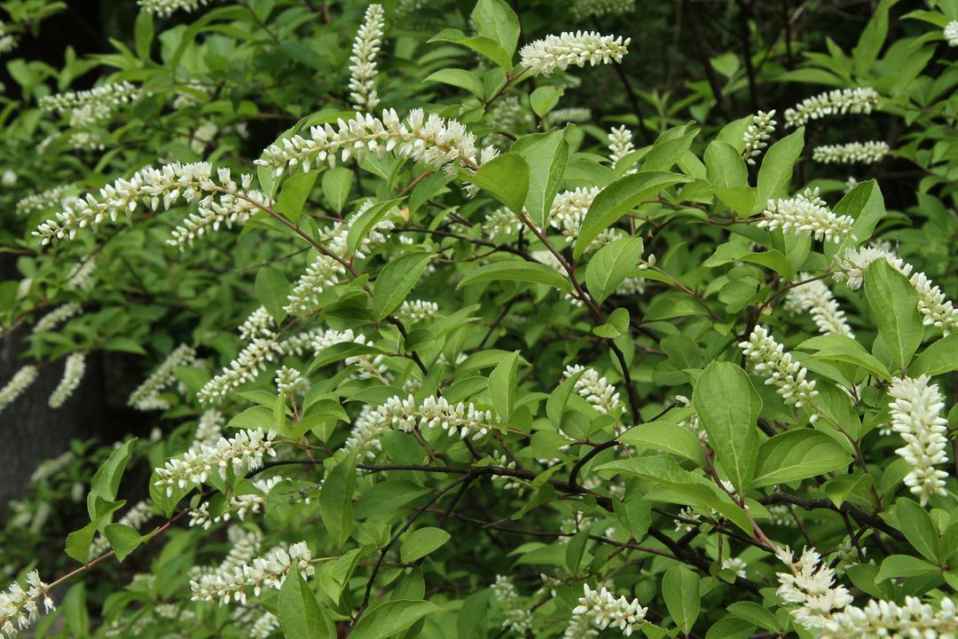 Native Plant Profiles Audubon North Carolina