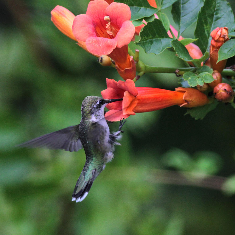 Winston Salem Journal Adding Bird Friendly Native Plants