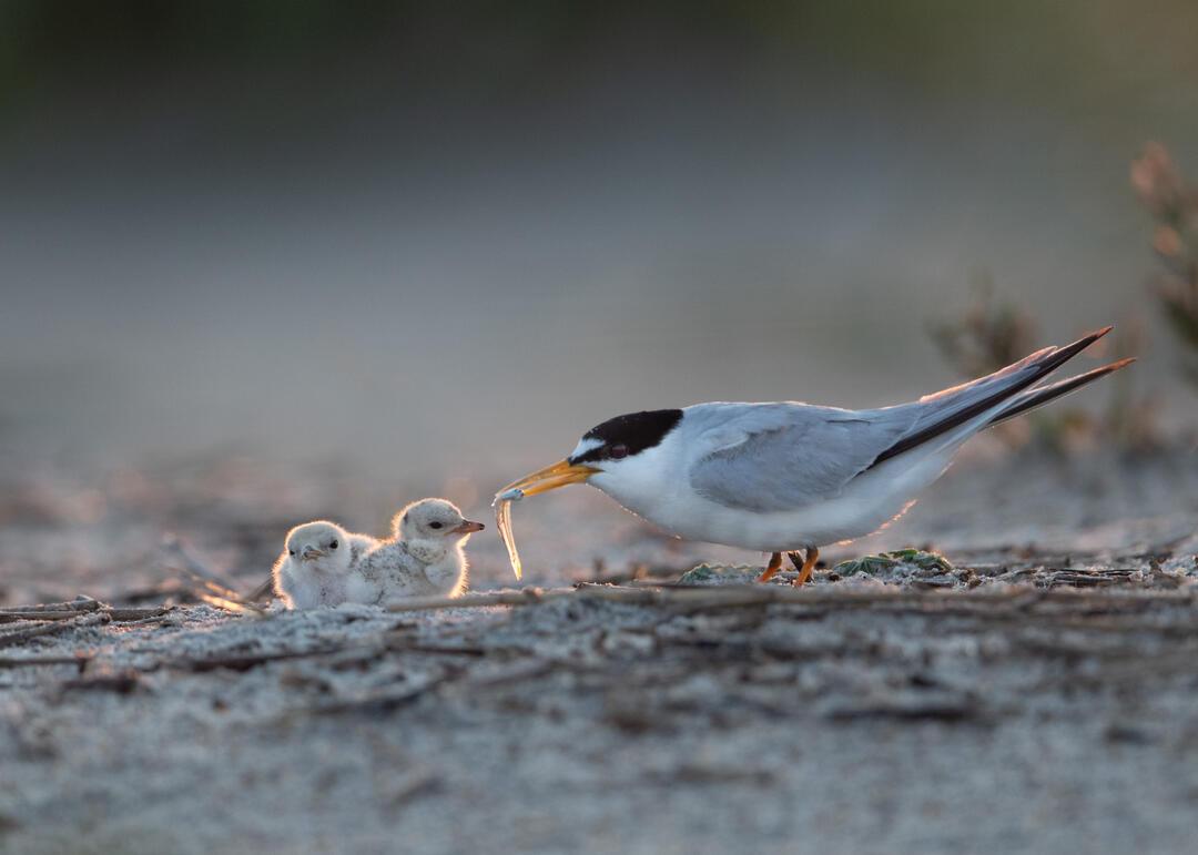 Least Tern chicks.