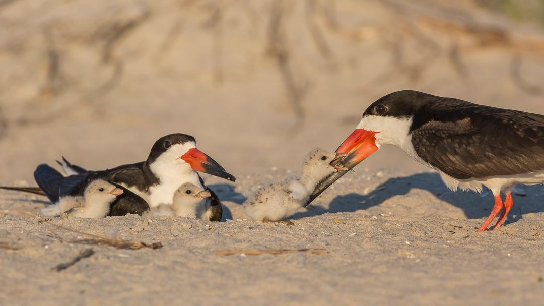 Black Skimmers and chicks.
