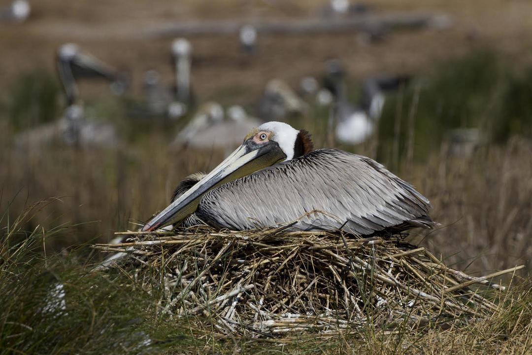 What Happens To Pelicans When It Freezes Audubon North Carolina