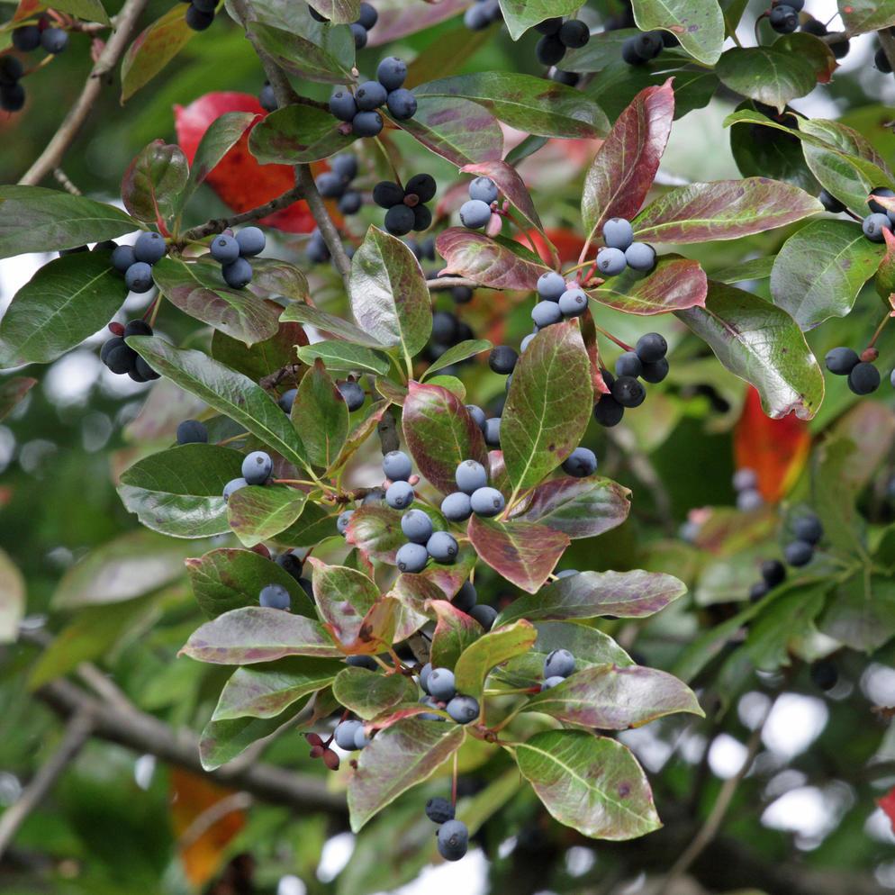 bird friendly native plants audubon north carolina