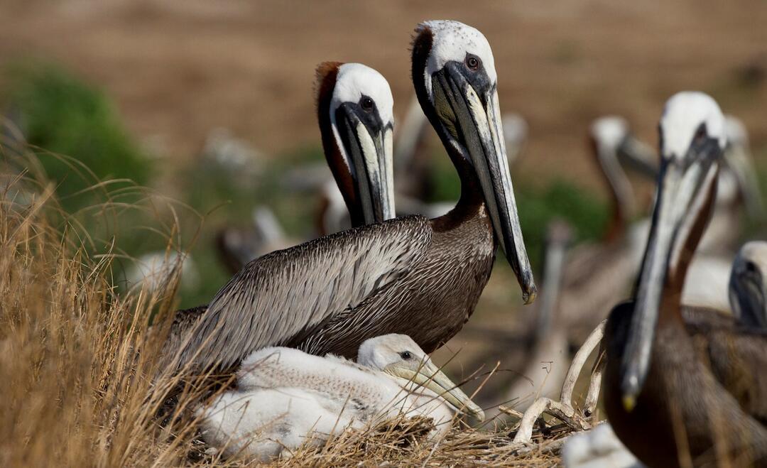Brown Pelicans.