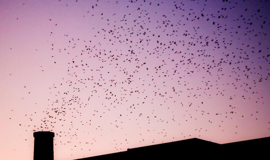 Chimney Swifts congregate in huge numbers at their roosts before fall migration.